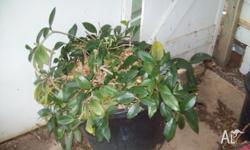Mature Hoya Plant - will grow to 1-1.5 m on frame or