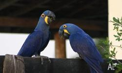Humble Companion Pairs Of Hyacinth Macaw Parrots Read