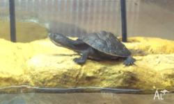 Baby Hunter River Turtles for sale Very active, eating