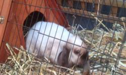 HUTCH and BUNNY RABBIT.... -Flop ears, -Soft and