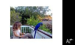 Hyacinth Macaw Parrots Read For Re-Homing,Our parrots