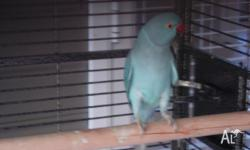 Pale blue indian ringneck for sale. Parrot was given to