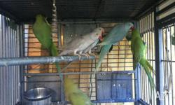 Healthy, beautiful birds... Blue $90 grey cinnamon $70