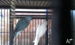 One nice pair of Indian Ringnecks, blue male 4 yrs old