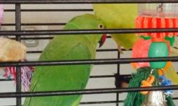 2 Indian Ringnecks, unsexed, includes cage and