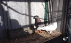 Iranian high flying pigeons from $100 each Young