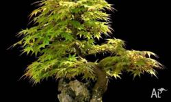 acer palmatum or the famous japanese maple is one of