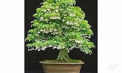 great small deciduous tree or large shrub with small