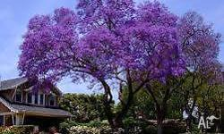 Lovely Jacaranda's for sale. I have: three x 7 foot for