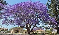 I have a limited number of young Jacaranda trees for
