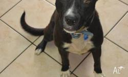 Jack is a large, male, black & white, Kelpie mix and he