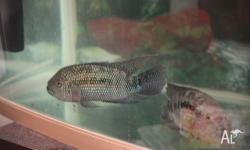 5 big Jack Dempsey (each 15cm) include fish tank 600(L)