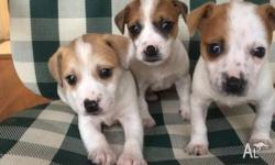 i have 3 gorges pure breed jack russels pups 6weeks old