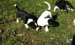 Female puppy 8 weeks old. White with black markings.