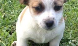 Jack Russell X Westie Puppies 8 Weeks Old, 2 x Tan &