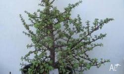 6 Very Mature Plants for sale. Jade plant are known as