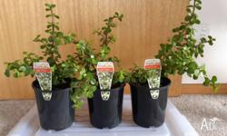 JADE PLANTS 'Portulacaria' All healthy, established