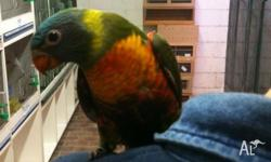 Jade Rainbow Lorikeet Hand Reared DNA Female. 9 weeks