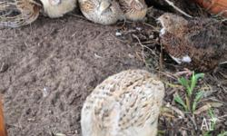 Japanese Quails are a quiet and peaceful addition to