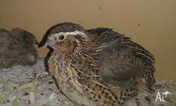 Jap Quail, for sale, several colours, Girls point of