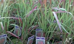 Japanese Blood Grass available in 15cm pots $6.00 Each