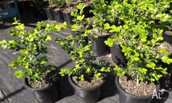 Japanese Buxus (microphylla japonica) for sale in 200mm