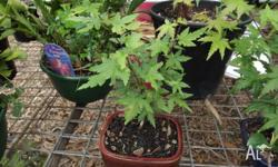 For sale are two Japanese Maple bonsais which are