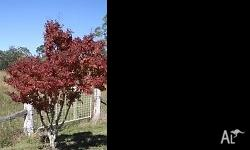 Japanese Maples in 10cm pots, lovely autumn colours -