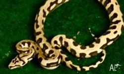 We have jungle jag pythons starting from $799 up to