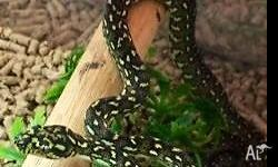 Juvenile Diamond Pythons for sale Great to handle