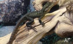 We have baby eastern water dragons for $120 each.