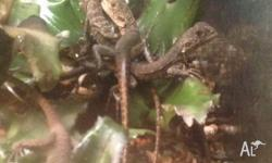 We have Juvenile Gippsland Water Dragons for sale for