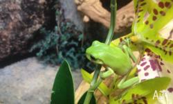 We have juvenile green tree frogs for sale for $35 each