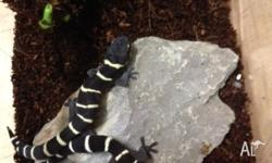 We have 2 juvelinle velvet geckos for sale at $95 each.