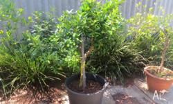 Kaffir Lime Tree for sale, 30 years old, very healthy,