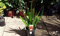 Kangaroo Paw is a very attractive plant with small,