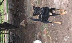 Boots is a lovely 6 month old Black and Tan Kelpie from