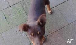Female red kelpie pup 10 weeks old wormed vaccinated