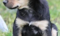 pure bred kelpie pups, black and fawn female, red and