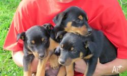 Purebred Black and Tan Kelpie pups for sale. Ready 27