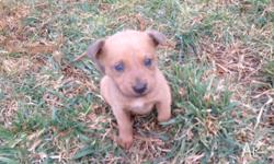3 purebred kelpie pups for sale - 2 x brown/ orange