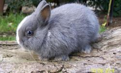 We have some gorgeous Purebred Dwarf Netherland bunnies