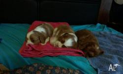 For sale: Purebreed King Charles Cavalier Puppies. 1