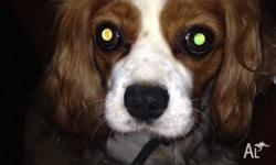 KING CHARLES CAVALIER, FEMALE, ALMOST 4 YEARS OLD.