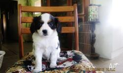 King Charles Cavalier X Papillon Puppies 8wks old 4
