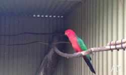 King Parrot good looking male who needs a lovely mate