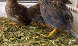 I have 3 King Quails for $15 each. 1 Male & 2