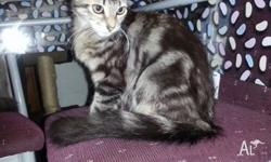 need to rehome a 10 week old kitten female not desexed
