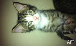Cutest tabby kittens, 2 male, 1 female with white face