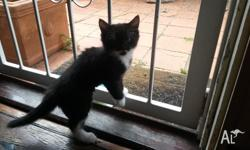 2 Male Kittens 8 Weeks Old Toilet trained and treated